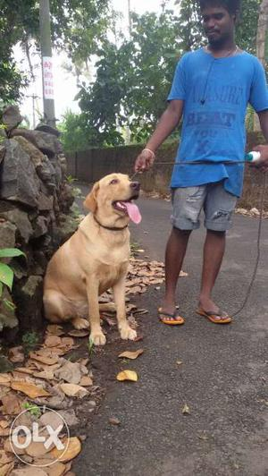 Heavy size lab 1.5 years old good behaver female