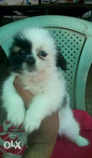 KCI Miniature Lhasa female puppy ready to go