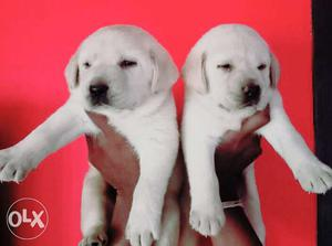 Lab male and female pappys available for sale