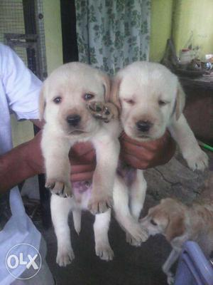 Labrador fawn colour puppies available all breed