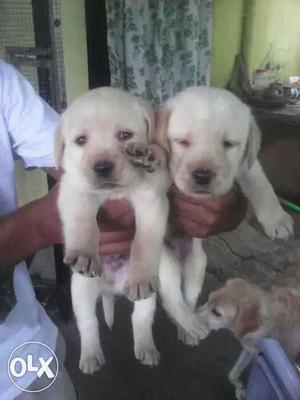 Labrador fawn colour puppies available pure breed