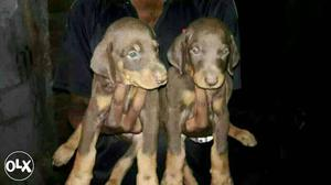 Nagpur:- Lab Rott Pom All Breeds Dog Puppies And