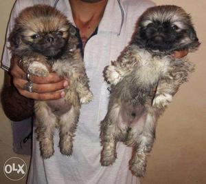 Pakniess Male Pups For Sale