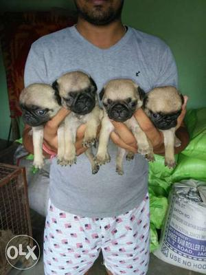 Pug Puppy available good quality and very nice
