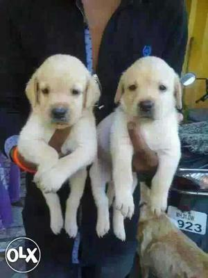 Rajkot Lab Pom Gsd All Breeds Dog Puppies And