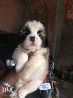 Sant barnard puppies and all breeds sell