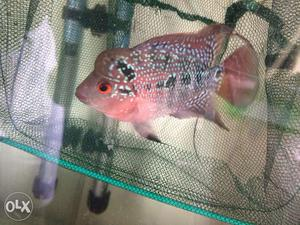 Srd flowerhorn fish baby for sale | Posot Class