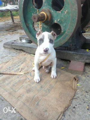White And Gray American Staffordshire Terrier Puppy