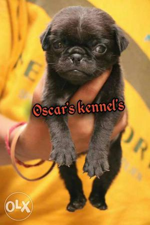 You looking for genuine cute black pug Puppy It's