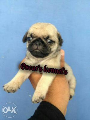 You looking for genuine pug Puppy It's top