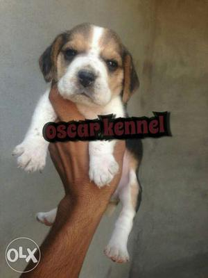 You looking for genuine quality Beagle Puppy It's