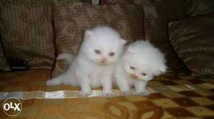 Best quality punch Persian kitten available in