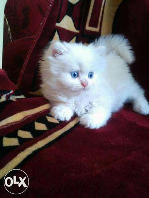 So Beautiful So Nice Persian Kittens & Cats For Sale ajmer