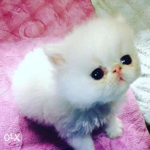 So Very Beautiful Persian cat and kitten for sale in