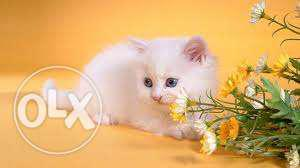 So cute persian kitten for sale in delhi
