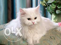So nice very active persian kitten for sale in allahabad