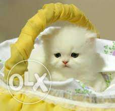 So nice very active persian kitten for sale in ghaziabad