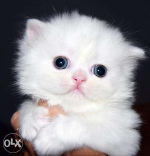 So nice very active persian kitten for sale in kanpur