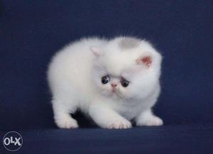Very So very beautiful persion kitten for sale in lucknow