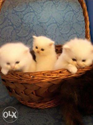 Very Sweet & So lovely Persian Cat and Kitten For Sale.In