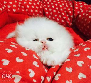 Very active persian kitten for sale for in udaipur sale