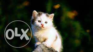 Very active persian kitten for sale in agra