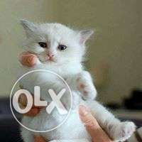 Very active persian kitten for sale in bhopal