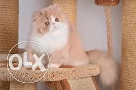 Very active persian kitten for sale in dehradun