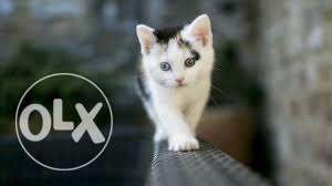 Very active persian kitten for sale in ludhiana
