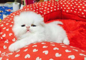 Very active persian kitten for sale in nagpur