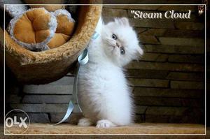 Very active persian kitten for sale in surat