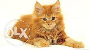 Very active persian kitten for sale in varanasi
