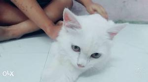 4 Month Female Persian cat very active
