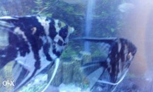 Aquarium of about 75 cm length and 25 cm width.It