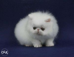 Beautiful So Nice Persian Kittens & Cats For Sale in