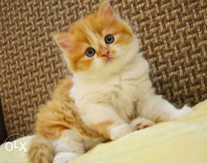 Beautiful So Nice Persian Kittens & Cats For Sale in bikaner