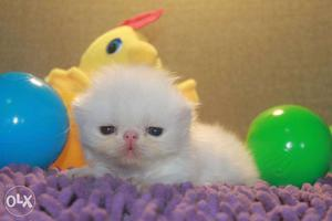 Beautiful So Nice Persian Kittens & Cats For Sale in nagpur