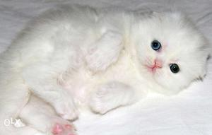 Beautiful So Nice Persian Kittens & Cats For Sale in ranchi