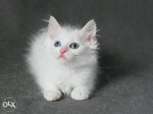 Beautiful So Nice Persian Kittens & Cats For Sale in roorkee