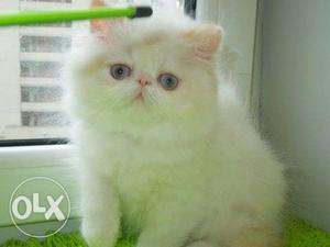 Beautiful So Nice Persian Kittens & Cats For Sale in surat