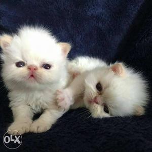 Persian Kitten White Doll Face Pet Shop in Delhi