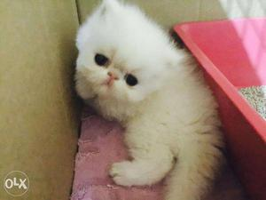 Playfull healthy baby persian cats kitten sale all india