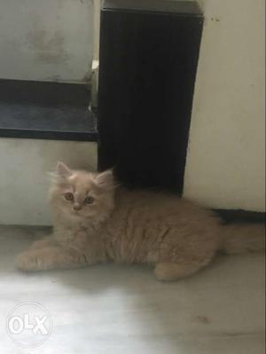 So beautiful persian cat very active & healty