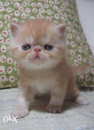 So cute persian kitten for sale in ajmer