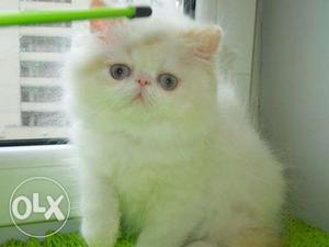 So cute persian kitten for sale in nasik