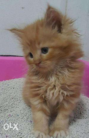So nice very active persian kitten for sale in aligarh