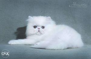 So nice very active persian kitten for sale in hyderabad
