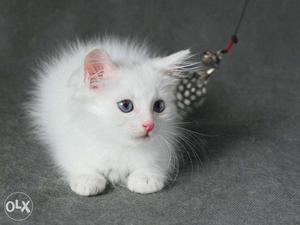 So nice very active persian kitten for sale in vijaywada