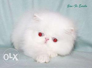 Very active persian kitten for sale in bengaluru