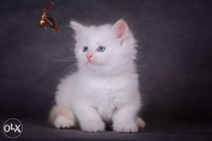 Very active persian kitten for sale in chennai